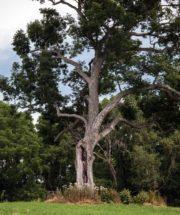 Джеймс Шульц: Старый дуб